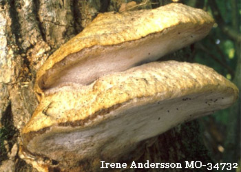 Aurantiporus fissilis, MO-34732, Irene Andersson, Sweden, photo 80968.