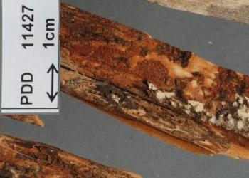 Phlebia leptospermi NZVH from MyCoPortal.