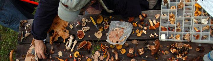 Sorting mushrooms on picnic table.